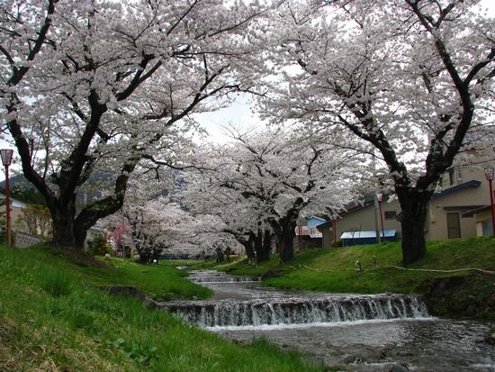川桁駅 観音寺川 さくら きらくや 桜