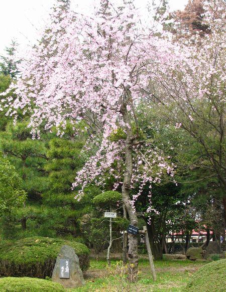 還暦記念桜 安積桑野75期